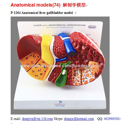 P-1264 Liver Gallbladder Model