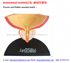 P-1312 Prostate and bladder anatomic model
