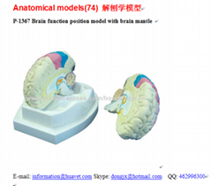 P-1367 Brain function position model with brain mantle