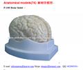P-1365 Brain Model