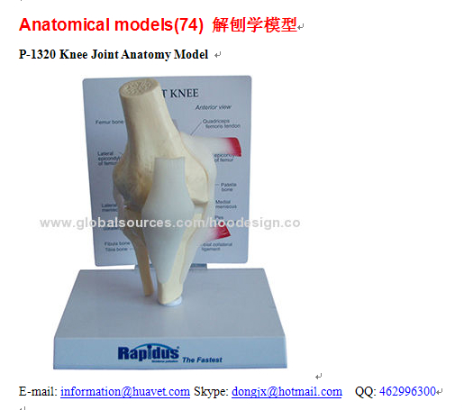 P-1320 Knee Joint Anatomy Model