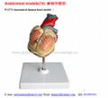 P-1274 Anatomical human heart model