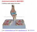 P-1288 Knee median sagittal section model
