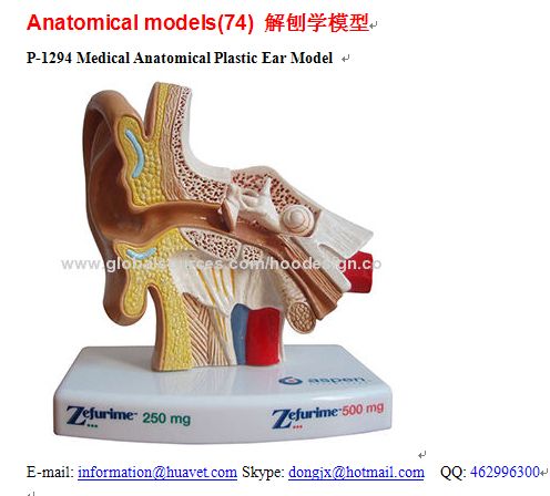 P-1294 Medical Anatomical Plastic Ear Model