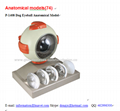 P-1408 Dog Eyeball Anatomical Model