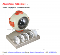 P-1408 Dog Eyeball Anatomical Model
