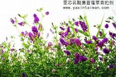 亚芯苜蓿草青贮剂