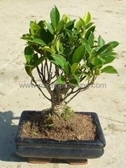 Ficus bonsai 15cm-20cm-25cm ball shape