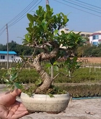 Ficus S shape bonsai pot size 15cm-20cm-25cm