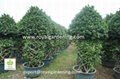Ficus cage plant for landscaping