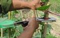 葡萄绑藤机 1