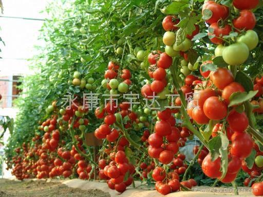 最新款臺灣SUCA電動番茄授粉器|西紅柿授粉器 5