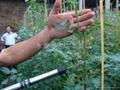 厂家直销台湾SUCA电动番茄授粉器|番茄授粉器|西红柿授粉器 2