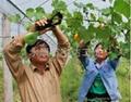 西红柿绑蔓 番茄绑枝机 葡萄绑
