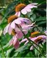 紫錐菊提取物  1