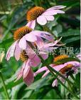 Echinacea Herb P.E.