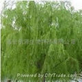 White Willow Bark P.E