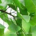 Ginkgo Leaf P.E.