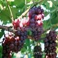 Grape Seed P.E. 1