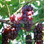 Grape Seed P.E. 2