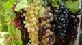葡萄模型、仿真葡萄、道具葡萄