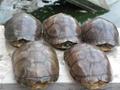 提供黄喉拟水龟亲龟