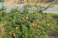 石榴樹苗 5
