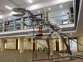骨架  模型  化石  骨架恐