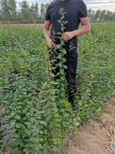 山西連翹苗、供應0.4以上的連翹苗500萬棵 1