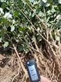 山西連翹苗、供應0.4以上的連翹苗500萬棵 2