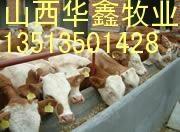 300斤肉牛犊