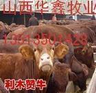 500斤利木赞育肥牛