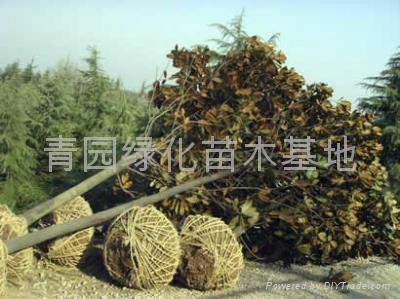 廣玉蘭苗木 1