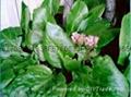 岩白菜素 2
