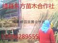 柳樹銷售中心 5