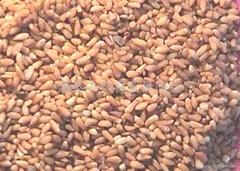 Platycladi Seed