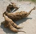 Kudzu Root 4