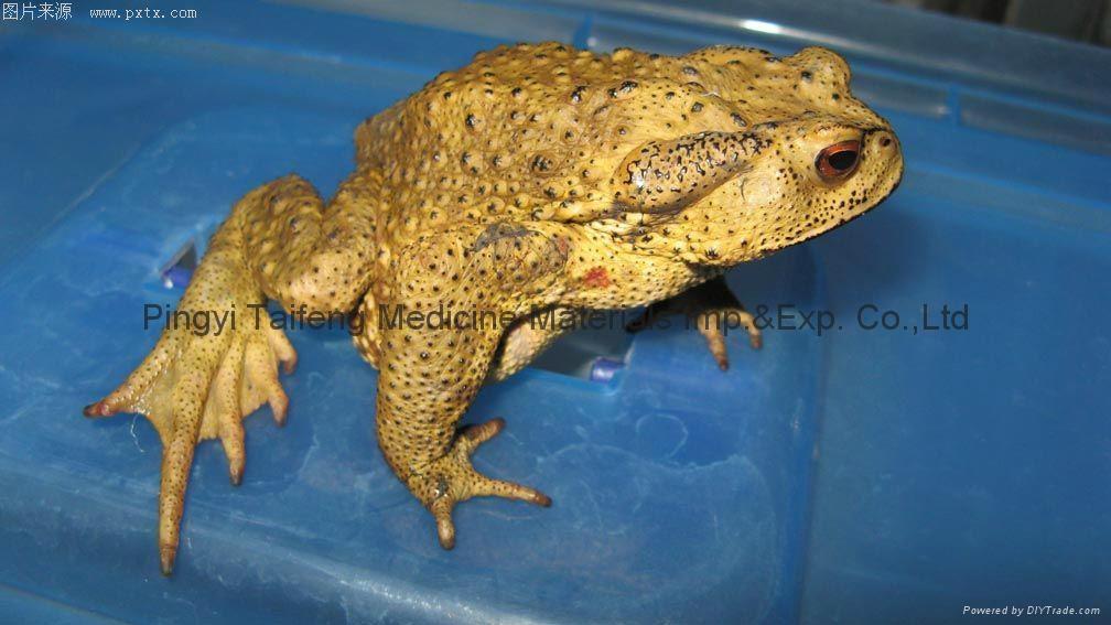 Toad Venom(venenum bufonis) 2