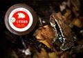 Toad Venom(venenum bufonis)