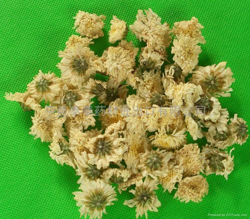 Florists Chrysanthemum  1