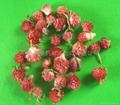 Globe Amaranth-Red