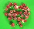 Globe Amaranth-Red  2