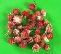 Globe Amaranth-Red  3