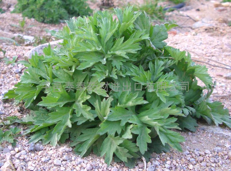 Argy Wormwood Leaf 8