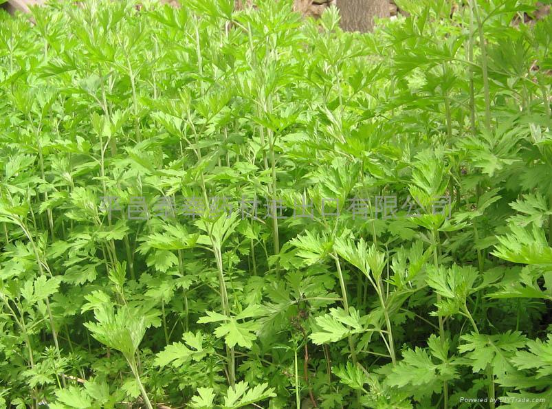 Argy Wormwood Leaf 6