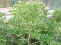 Argy Wormwood Leaf 7