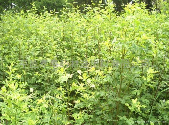 Argy Wormwood Leaf 5