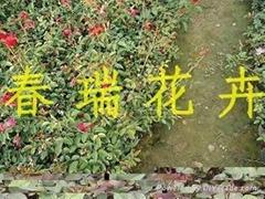 青州月季花