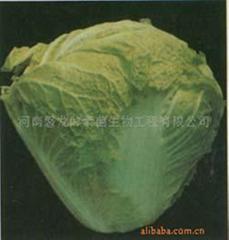 秦白二号大白菜种子