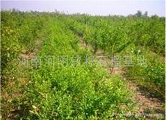 河陰軟籽石榴樹苗
